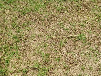 ボコボコの芝生
