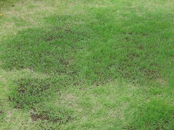 芝生に栄養剤を撒く